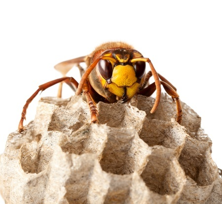 Top 5 differences between wasps and bees
