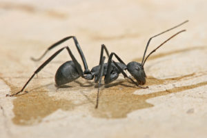 Carpenter Ant prevention: Why winter matters?