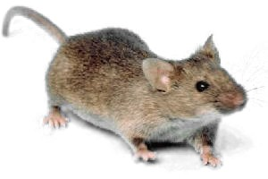 What are the 7 signs of Rodent Infestations at Home?