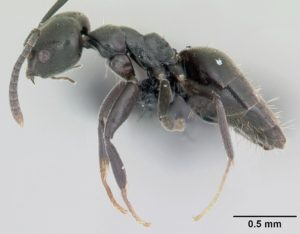 Whitefooted ants