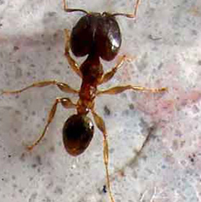 Big Headed Ant