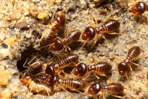 4 Reasons Why Termites are Attracted to your Home.