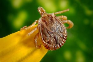 How Do Ticks Get Lyme Disease?