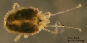 What You Need to Know about Clover Mites ?