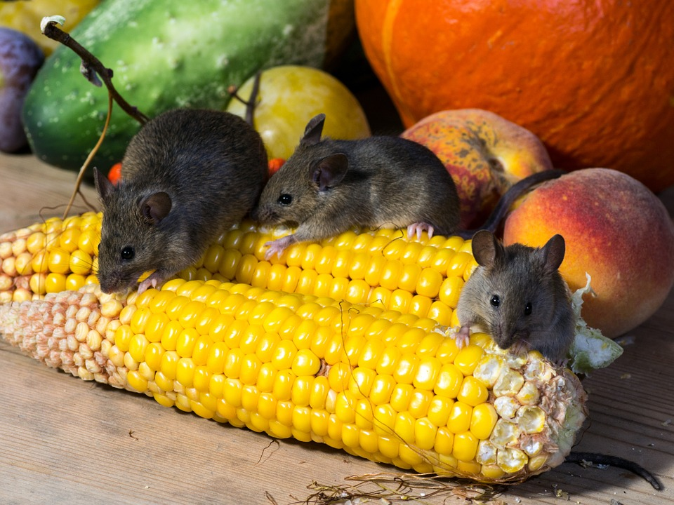 What attracts mice to your home