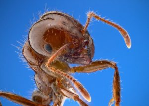 How Fire Ants Survive Flood Waters