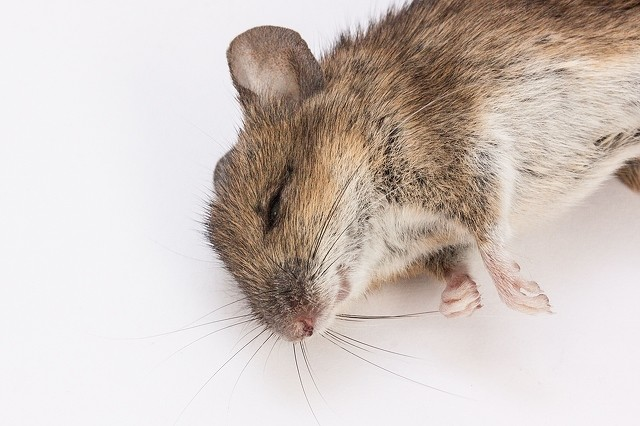 Odors That Can Help You To Prevent Rat Infestations