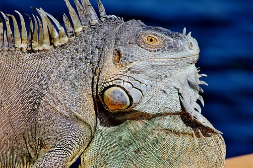 How to keep iguanas away from my yard?