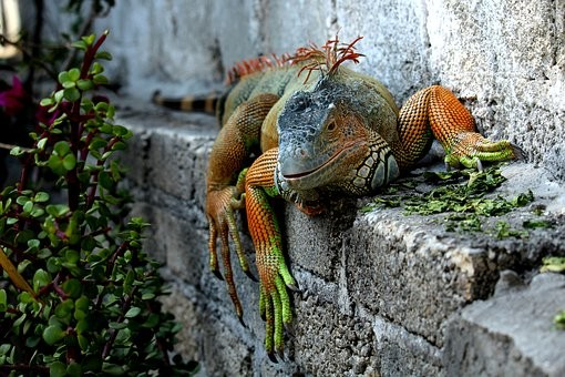 What are the plants that iguanas will not eat?