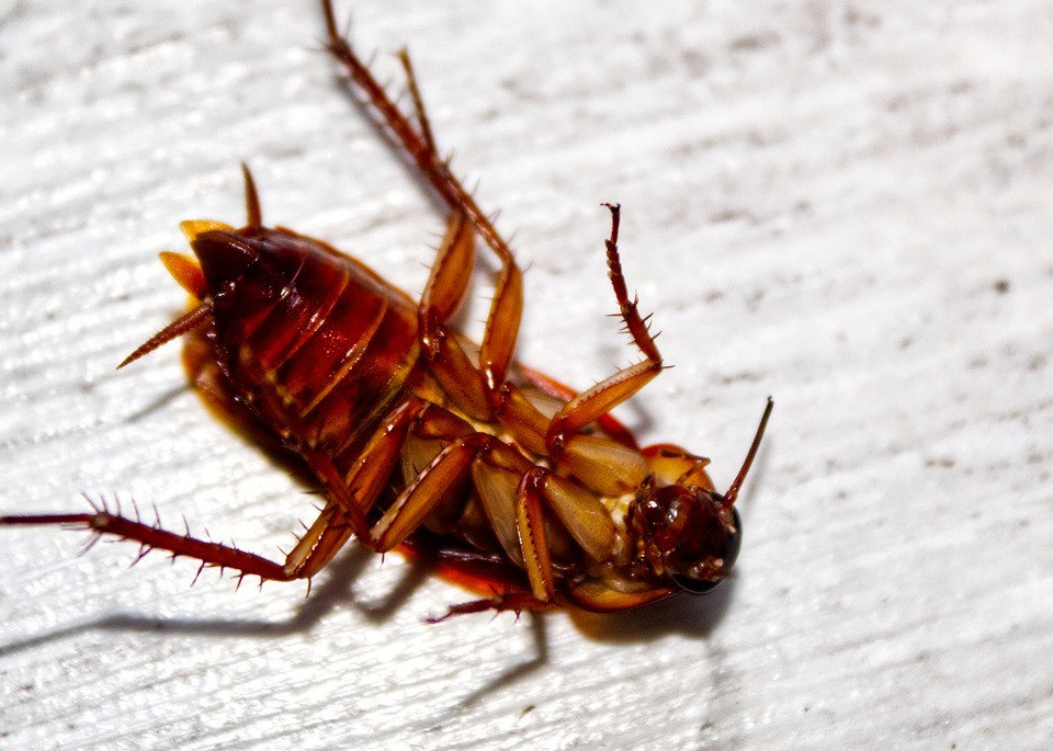 Why Are Cockroaches So Hard To Kill